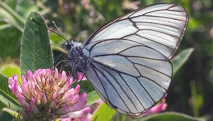 Mariposa Blanca Del Majuelo: Descripción, Características, Hábitat Y Más