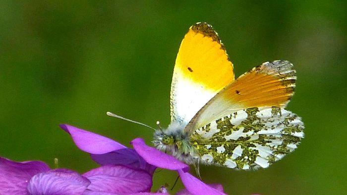 Mariposa musgosa