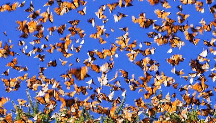 Migración de las mariposas