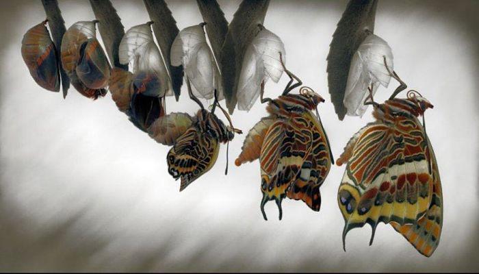Etapa de la mariposa adulta