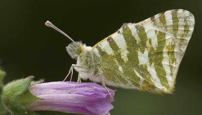 Mariposa Blanca verdirrayada