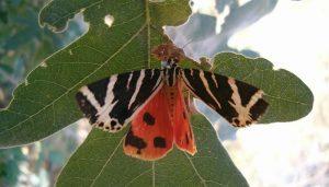 Mariposa Calimorfa: Descripción, Características, Hábitat Y Más