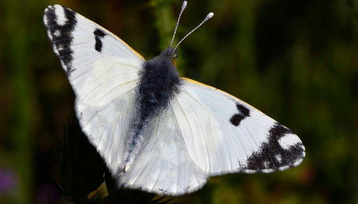 Mariposa Blanca Meridional: Descripción, Características, Hábitat Y Más.