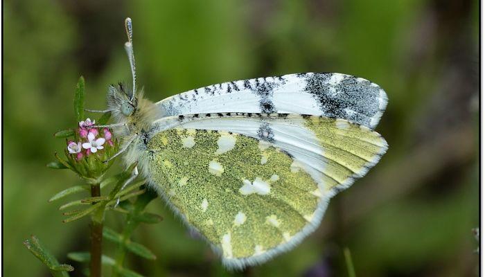 Mariposa blanca portuguesa