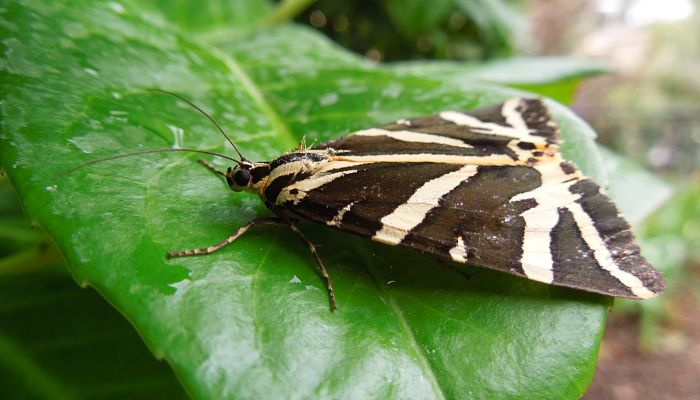 Mariposa calimorfa