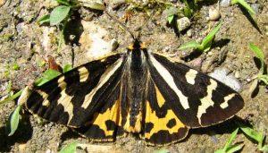 Mariposa polilla del tigre de la madera