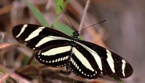 Mariposa Cebra