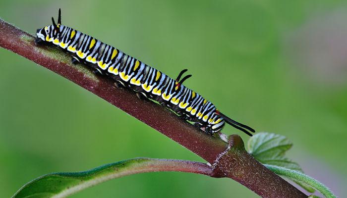 Mariposa Tigre oruga