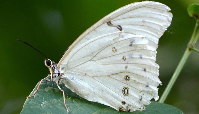 Mariposa blanca morpho