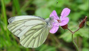 Mariposa blanca verdinerviada