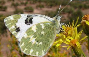 Mariposa blanquiverdosa