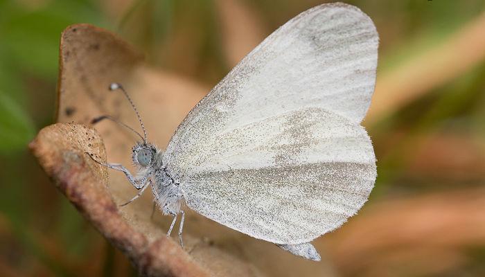 Mariposa esbelta