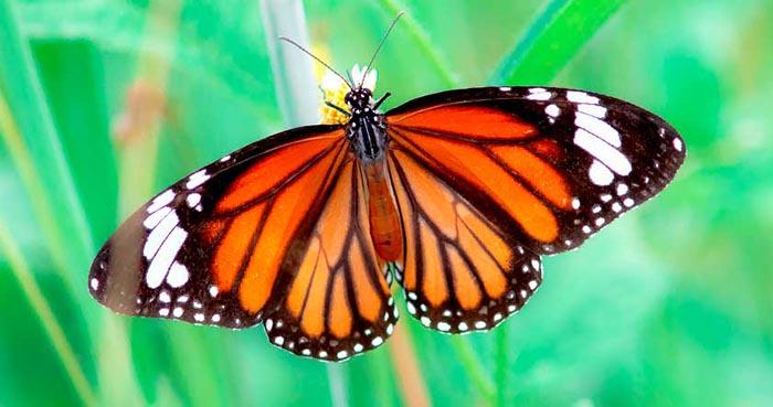 mariposa tigre alas de tigre