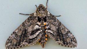 Mariposa Esfinge De La Carolina: Descripción, Características Y Más