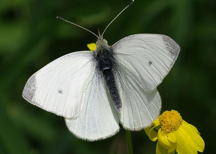 Mariposa Blanquita de la col