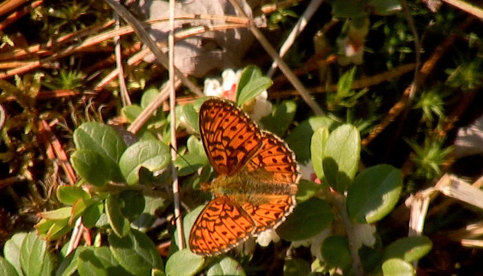 mariposa perlada rojiza