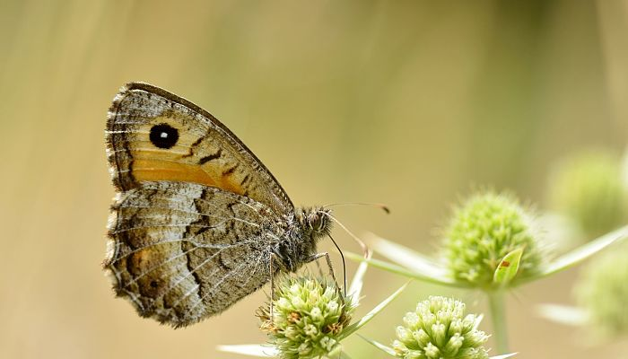 mariposa pinta ocres