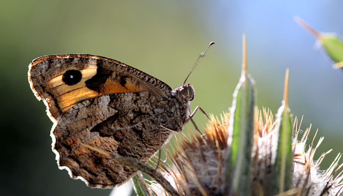 Mariposa sátiro común