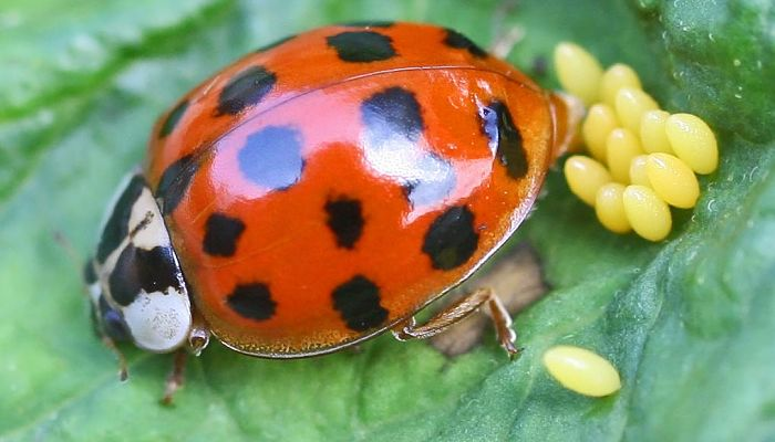 Oviposición en insectos
