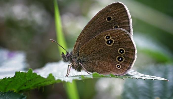 Mariposa Sortijitas: Descripción, Características, Ciclo De Vida Y Más