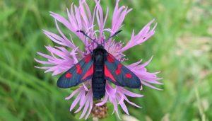 Mariposa Gitanilla De 5 Puntos: Descripción, Características Y Más