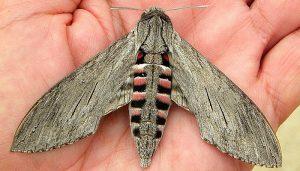Mariposa Esfinge De La Correhuela: Descripción, Características Y Más