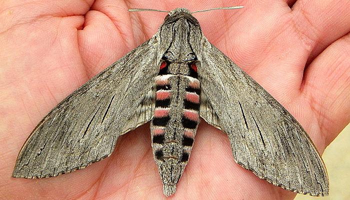 Mariposa esfinge de la correhuela