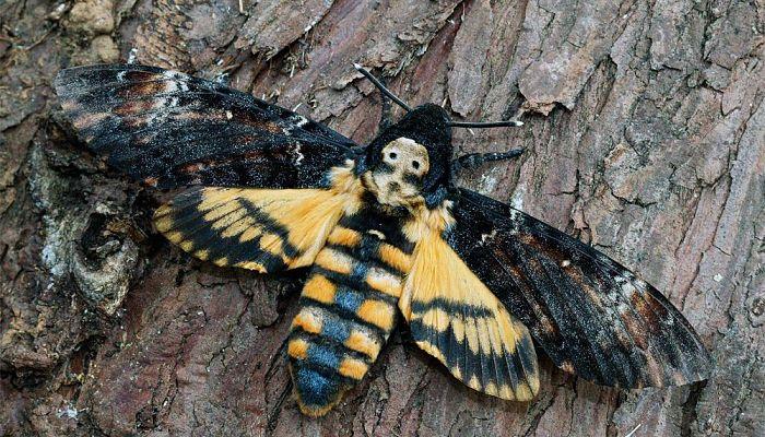mariposa esfinge de la calavera