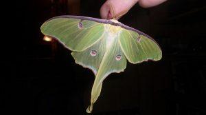 Mariposa Luna: Descripción, Características Y Más
