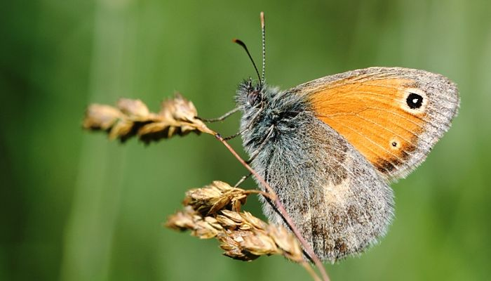 mariposa ninfa de linneo