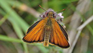 Mariposa Dorada Línea Larga: Descripción, Distribución, Hábitat Y Más