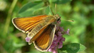 Mariposa Dorada Línea Corta: Descripción, Características, Hábitat Y Más