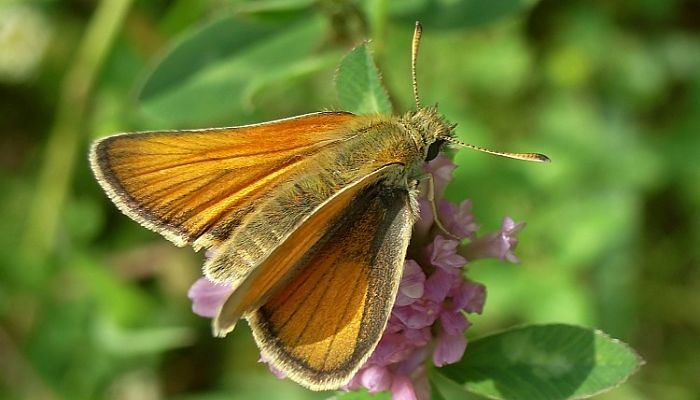 Mariposa dorada línea corta