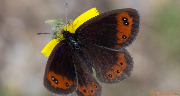 Mariposa montañesa de banda larga Erebia Prunner