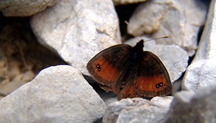 mariposa erebia sedosa