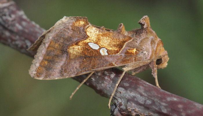mariposa lagarta de la platanera