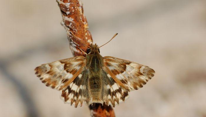 mariposa piquitos clara