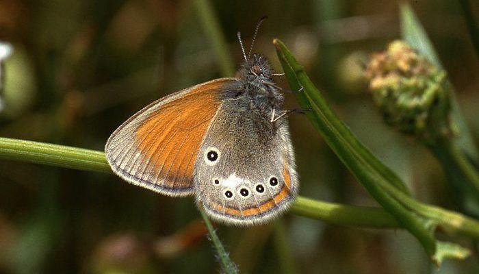 Mariposa ninfa de borkhausen