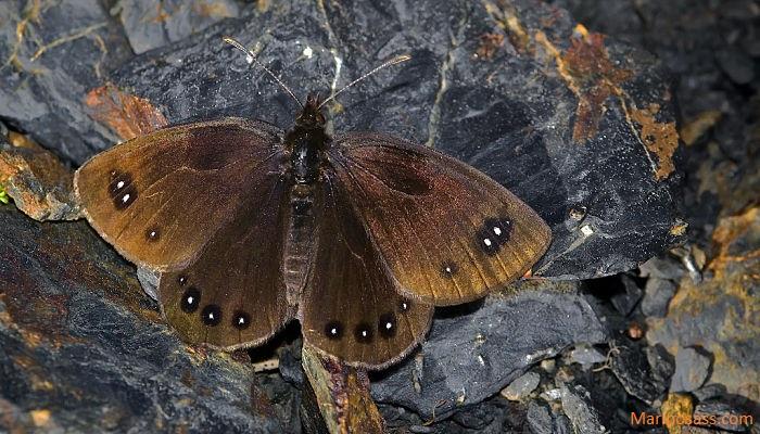 Mariposa Erebia Lefebvrei