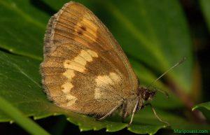 Mariposa Erebia de manchas amarillas (Erebia manto)