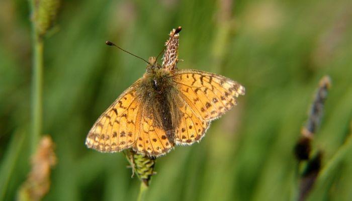 Mariposa Perlada Alpina