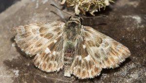 Mariposa Piquitos: Descripción, Hábitat, Alimentación Y Más