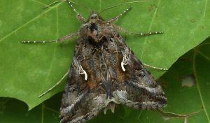 Mariposa Plusia: Descripción, Características, Ciclo De Vida Y Más