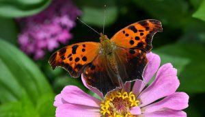 Mariposa Signo De Interrogación: Descripción, Ciclo De Vida Y Más