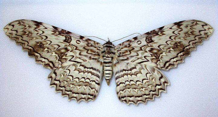 Mariposa fantasma