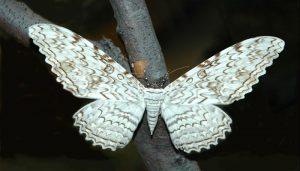 Mariposa Fantasma: Descripción, Características, Hábitat Y Más