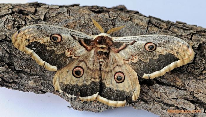 Mariposa gran pavón nocturno Saturnia pyri