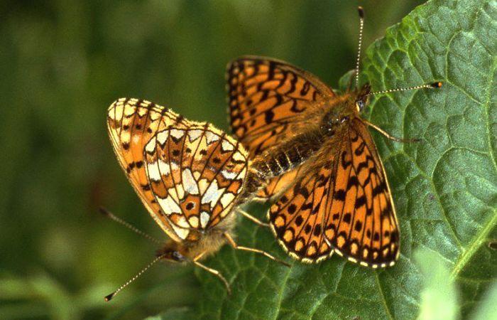 Mariposa perlada castaña
