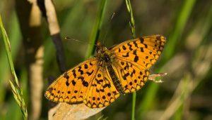 Mariposa Perlada Castaña: Descripción, Hábitat Y Más