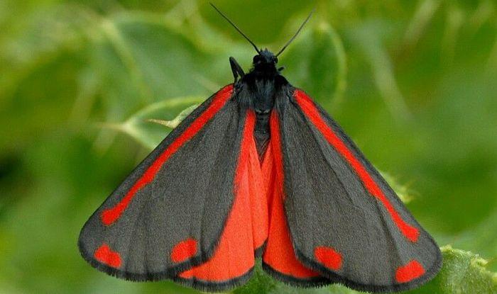 Mariposa Polilla Cinabrio: Descripción, Características, Hábitat Y Más